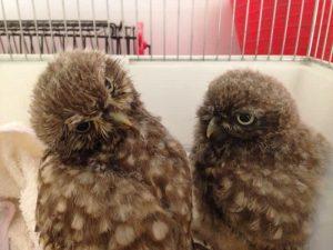 owls Montgomery Vets