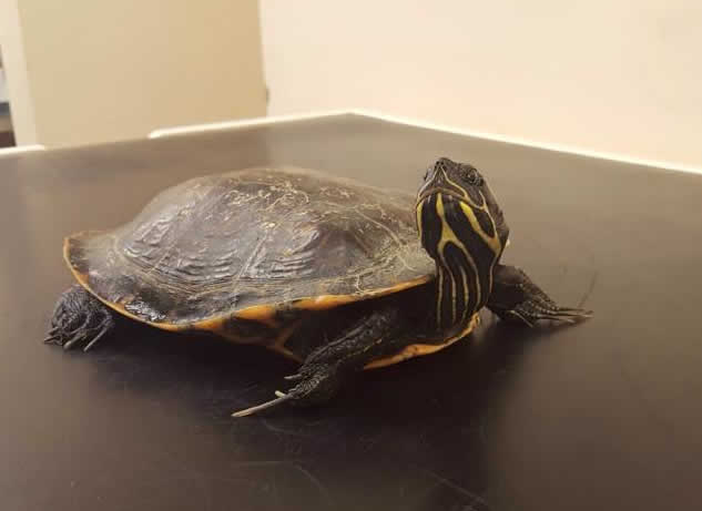 terrapin at Montgomery Vets