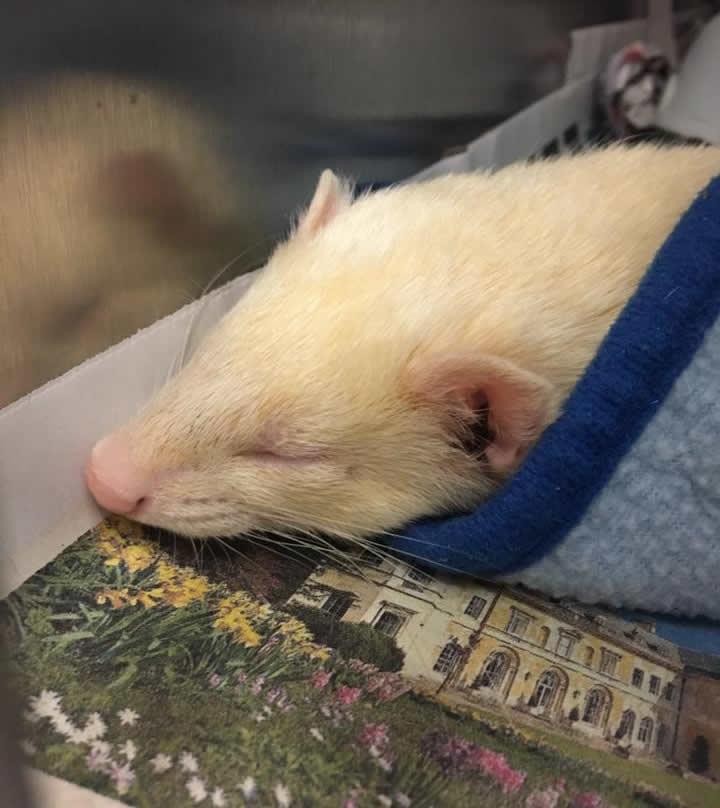 Ferret at Montgomery Vets
