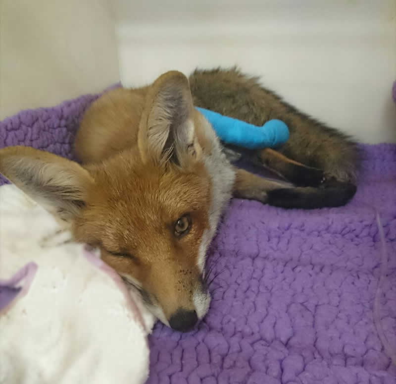 fox patient at Montgomery Vets