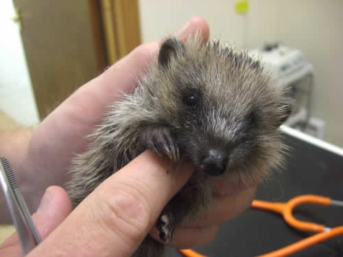 Hedgehog at Montgomery Vets