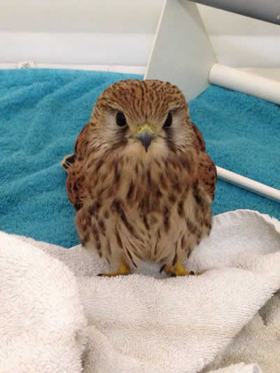 Kestrel at Montgomery Vets