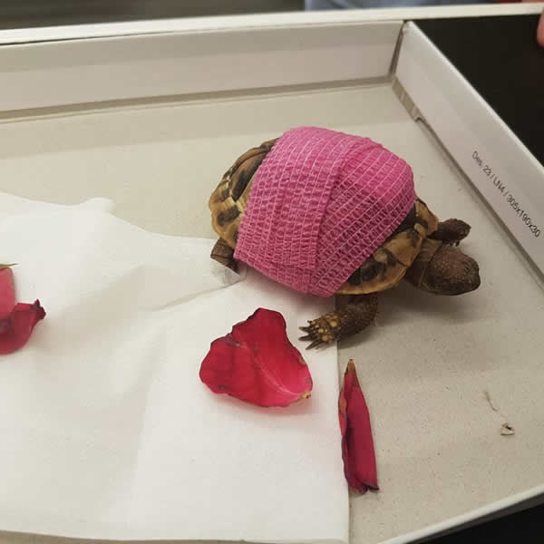 tortoise and bandage at Montgomery vets